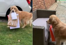 Helpful Golden Retriever Dog Carries Shopping Bags From Car