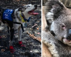 Bear The Koala-Detecting Dog Searches Bushfire-Ravaged Lands To Save Lives