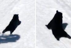 Bear Turns Up At Ski Resort, Thinks No One Is Watching & Starts Sliding In Snow