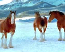 Budweiser Clydesdale's Have A Snowball Fight, Prove They Should Never Be Messed With In Snowball Fights