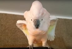 Cockatoo Refused To Go To Her Cage And Throws Hilarious 'Temper Tantrum'