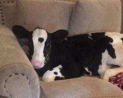 Family Returns After Leaving The Door Open For 5 Minutes To A Cow On Their Couch