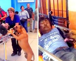 2 Worried Dogs Force Their Way Into Ambulance To Watch Over Their Wounded Dad