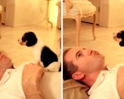 Enthusiastic Beagle Pup Perches Himself On Dad's Chest And Gets An Adorable 'Howling Lesson'