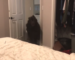 Giant Newfoundland Has One Last 'Burst Of Energy' Before Going To Bed Every Night