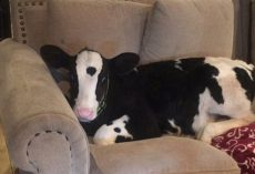 They Left The Door Open For 5 Minutes And Returned To A Cow On The Couch
