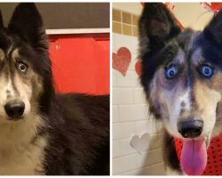"Breeder Dumps Husky At Shelter Because Of ""Weird Eyes"" & Can't Sell Her"