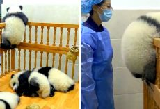 Chubby Baby Panda Tries Escaping His Crib During Naptime, Comically Gets Stuck