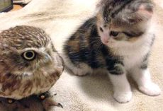 Kitten And Owl Take To Each Other, Become Best Friends
