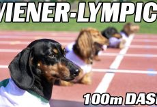 The 100m Dachshund Dash! – Wiener Dog Race!