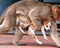 Monkey Scoops Up Puppy From The Street And Runs Away With Him