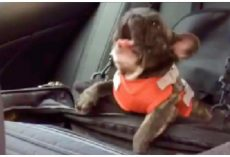 "Owner Put French Bulldog In Car Seat And Decides To Throw The Biggest ""Temper Tantrum"""