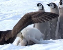 Penguin Chicks Scream In Terror As Giant Bird Attacks And A Hero Saved The Day