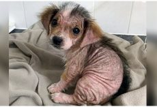 Puppy Who Lost Her Fur Looks Unrecognizable Weeks After Escaping Negligent Owners