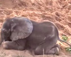 Sick Baby Elephant Was Rejected By The Herd, Becomes New Best Friend With A Dog