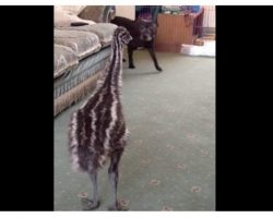 Baby Emu 'Lost-It' When The Dog Walked Into The Room For The First Time