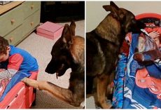 German Shepherd Prays With His Little Human & Tucks Him Into Bed Each Night