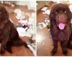 Mom Lets Newfie Pup Out Of Kennel, He Thanks Her With A Hot Mess