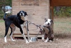 Dogs Tied And Tangled Up Out In The Elements Have Their Little Cries Heard