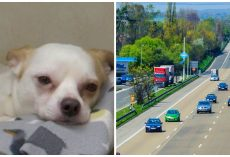 Missing Chihuahua Is Found & Thrown From A Moving Vehicle