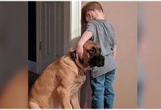 Loyal Mastiff Refuses To Leave His Little Boy's Side While He's In Timeout