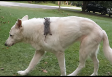 Dog Adopted Orphaned Opossum Many Years Ago, And Still Carries Him Wherever She Goes