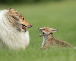 An Orphaned Fox Rescued From An Accident Finds Surrogate Mother In A Collie