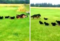German Shepherd Mama Hatches A Clever Game To Tire Out Her Hyperactive Puppies