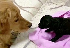 Golden Retriever Who's Always Loved Puppies Finally Gets One Of His Own
