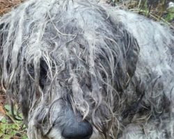A Starved And Abused Schnauzer Was Found Tethered To A Tree On Country Land