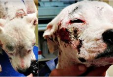 No One Helped Her Because She's A Pit Bull So She Roamed The Streets In Agony