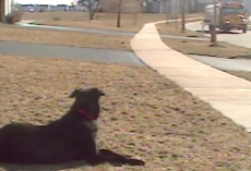Patient Pup Waits Every Day To Help His Human Off Of The School Bus