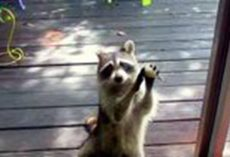 Raccoon Knocked On Woman's Door Every Day, Asked For Food For Her Family