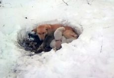 Stray Mama Dog Found Lying In Foot Of Snow, Protecting Her Babies From The Cold