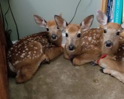Woman Leaves Back Door Open During Storm And Finds 3 Deer Huddled In Living Room