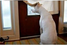 Deaf Dog Longing For His Dad Waits At Front Door During Entire Deployment