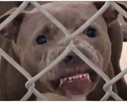 Growling Pit Bull Wasn't Allowed To Be Adopted, Dog-Lover Made It Her Mission