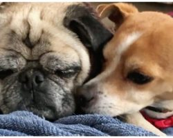 Blind Pug & His Seeing-Eye Chihuahua Abandoned After Owner's Terminal Illness