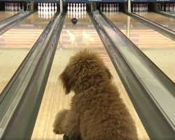 Girl Teaches Her Goldendoodle To Bowl, Dog Becomes A Star At Local Bowling Alley