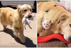 Golden Finds Struggling Stray Kitten, Carries Him Home & Becomes His New Mom