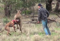 Guy Punches Kangaroo To Try To Free His Dog From Its Strong Chokehold