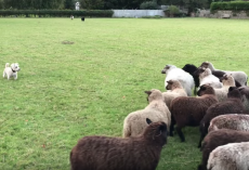 World's Worst Sheepdog Goes To Herd Sheep & Gets Them To Play With Him Instead