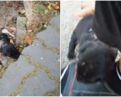 Tiniest Wounded Puppy Hears Her Voice, Comes Into Yard & Begs For Help