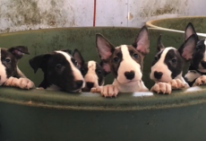 Rescuers Think They're Saving Five Dogs, Find 110 Bull Terriers On Property