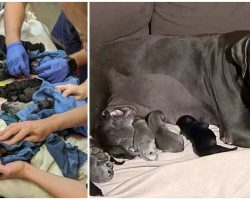 Mastiff Gives Birth To A Whopping 21 Puppies, Breaks A National Record