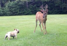 French Bulldog Squares Up With A Wild Buck, Then They Go At It