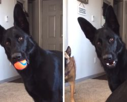 German Shepherd Hears Baby Crying For First Time, Confusion Covers His Face