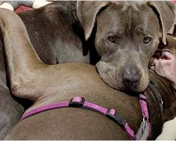 No-One Wanted Pit Bull Pair, They Clung Together For Comfort In Loud Shelter