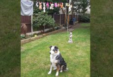 Loyal Dog Will Only Sit By His Toys As They Dry On The Washing Line