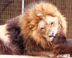 Onlookers Panicked When Tiny Wiener Dog Got Too Close To A Massive 500lb Lion